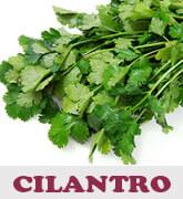 cilantro-thmb