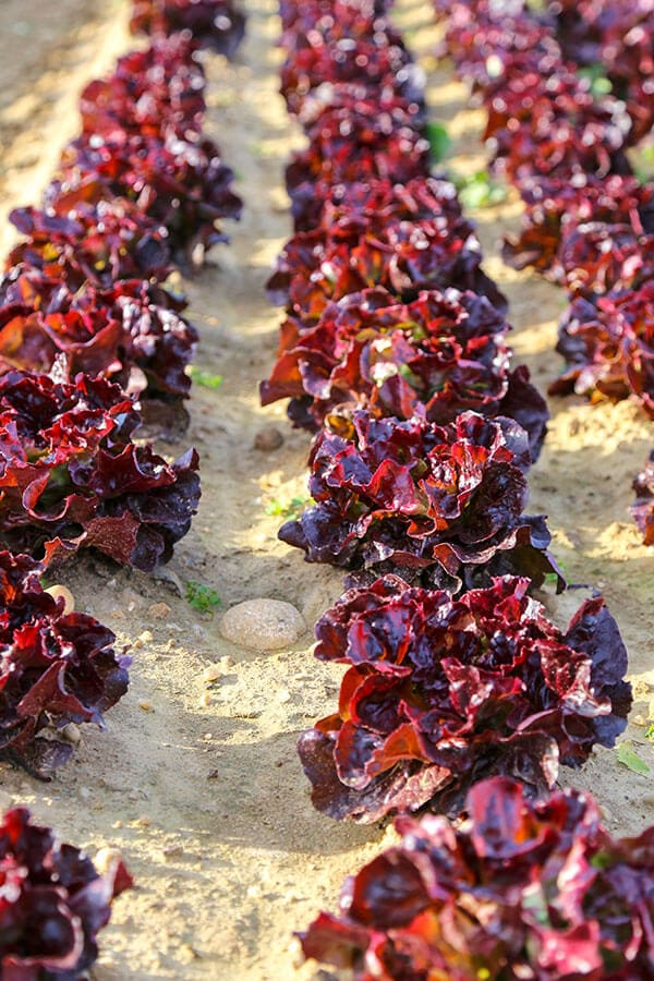 red-butterhead-lettuce-optm